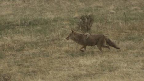 A-coyote-walks-through-the-grass
