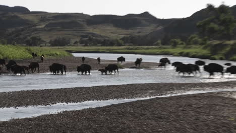Buffalo-cross-a-river-in-Yellowstone-National-park