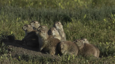 Uinta-ground-squirrels-peer-from-their-ground-nest-in-Yellowstone-National-park