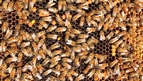 Honey-bees-crawl-all-over-and-work-on-their-honeycomb