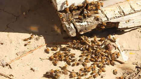 Bees-swarm-around-the-corner-of-a-piece-of-wood