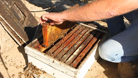 A-bee-keeper-pulls-out-a-frame-of-honey-combs-with-bees-on-it