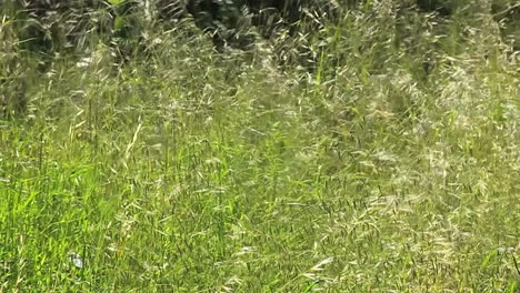 Tall-grass-blows-n-the-wind