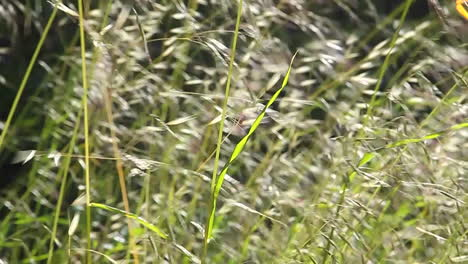 A-close-up-of-grasses-blowing-in-the-wind