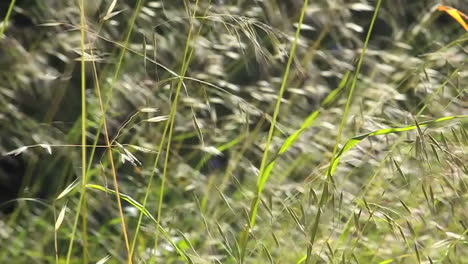 A-slow-motion-close-up-of-grasses-blowing-in-the-wind