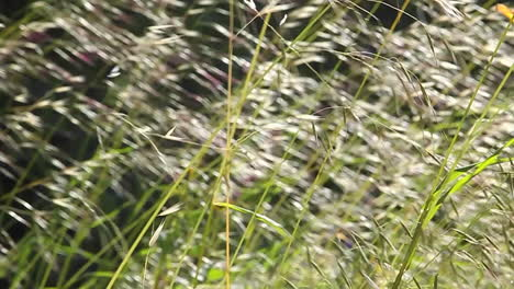 A-close-up-of-grasses-blowing-in-the-wind-1