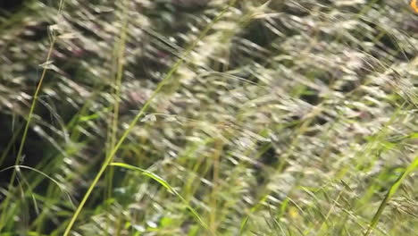 A-close-up-of-grasses-blowing-in-the-wind-2