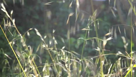 A-slow-motion-close-up-of-grasses-blowing-in-the-wind-1