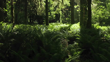 Time-lapse-scene-of-a-fern-covered-conifer-forest-floor-