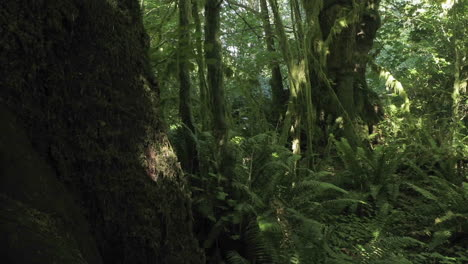Time-lapse-scene-of-a-fern-covered-conifer-forest-floor-1