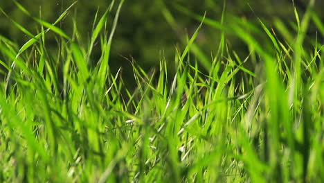 Blades-of-grass-waving-in-a-breeze-
