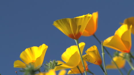 California-poppies-waving-in-a-breeze-1