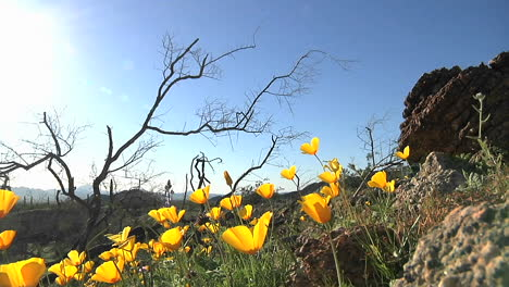 California-poppies-waving-in-a-breeze-4