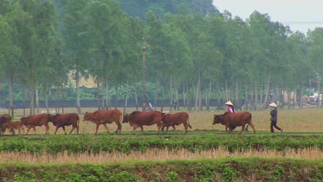Farmers-lead-their-cattle-across-the-paddies-in-Vietnam-with-a-small-town-behind