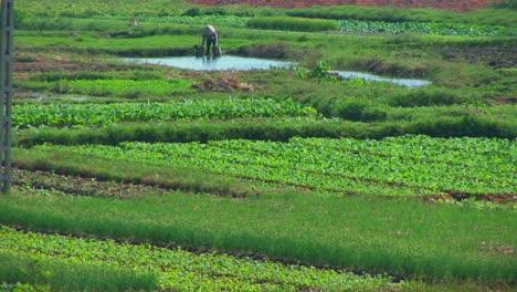 A-Vietnamese-farmer-water-his-fields