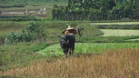 A-farmer-leads-his-water-buffalo-across-the-rice-paddies