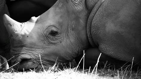 Rhino-06
