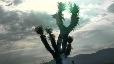 A-yucca-tree-stands-in-front-of-the-sun