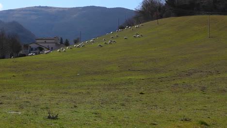 Ovejas-En-Un-Campo-Verde
