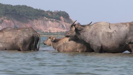 Water-buffaloes-cross-a-river
