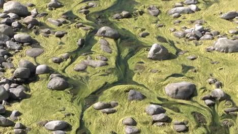 Zoom-out-of-algae-growing-in-the-Ventura-River-near-Ojai-California