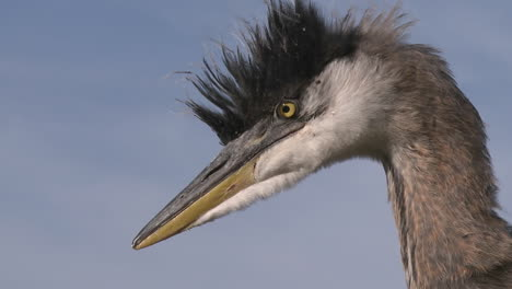 Close-up-of-a-Great-Blue-Heron-(Ardea-herodias)-at-Lake-Casitas-Recreation-Area-in-Oak-View-California