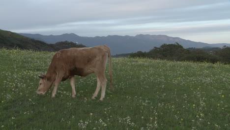 Kuh-Weiden-Auf-Einem-Feld-In-Ojai-Kalifornien