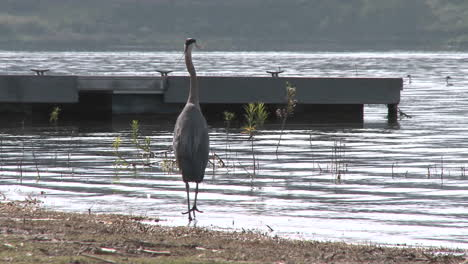 Great-Blue-Heron-(Ardea-herodias)-landing-at-Lake-Casitas-Recreation-Area-in-Oak-View-California