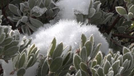 Alejar-La-Nieve-Y-Las-Heladas-En-Un-árbol-De-Manzanita-En-El-Bosque-Nacional-De-Los-Padres-Encima-De-Ojai-California