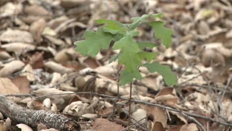 Valley-Oak-or-Quercus-lobata-sapling-emerging-from-oak-mulch-in-Ojai-California