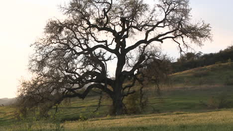 Zoom-out-on-large-Valley-Oak-during-the-spring-in-Ojai-California
