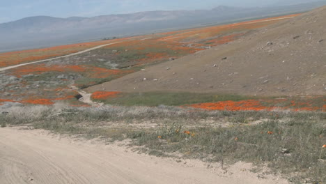 Point-of-view-driving-through-california-poppies-in-bloom-just-outside-the-Antelope-Valley-Poppy-Preserve-California