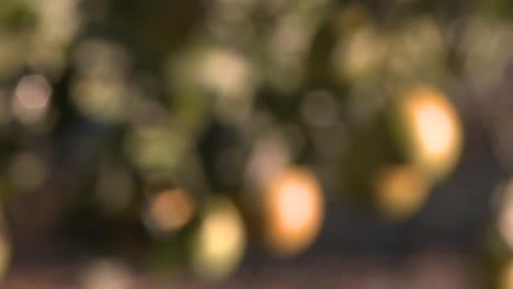 Cerrar-Rack-Se-Centran-En-Las-Naranjas-De-Un-árbol-En-Ojai-California