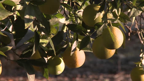 Close-up-rack-focus-on-oranges-on-a-tree-in-Ojai-California-1