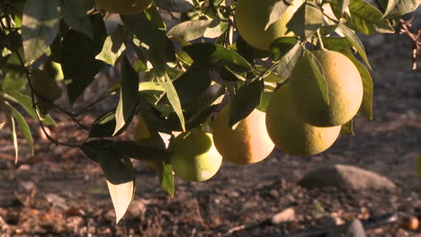 Close-up-on-oranges-on-a-tree-in-Ojai-California