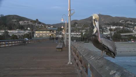 Brown-pelican-taking-off-from-the-Ventura-Pier-in-Ventura-California