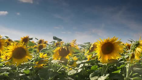 Sunflower-Timelapse0
