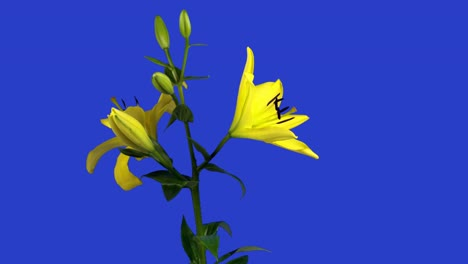 Yellow-Lilly0