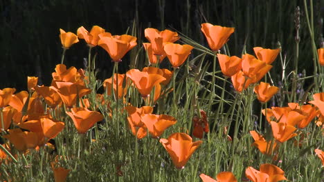 Closeup-of-california-poppies-in-bloom-in-Ojai-California