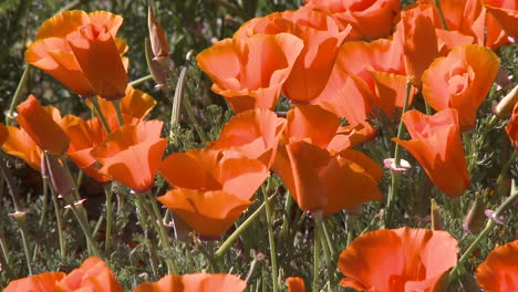 Closeup-of-california-poppies-in-bloom-blowing-in-the-wind-at-the-Antelope-Valley-Poppy-Preserve-California