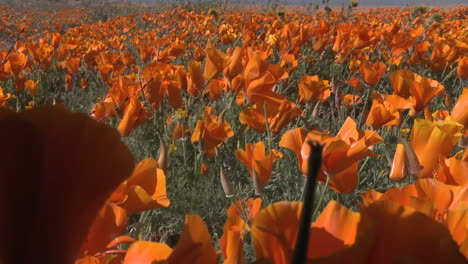 Low-point-of-view-of-california-poppies-in-bloom-in-the-Antelope-Valley-Poppy-Preserve-California