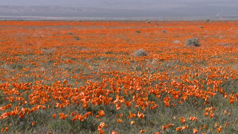 Zoom-out-of-california-poppies-in-bloom-in-the-Antelope-Valley-Poppy-Preserve-California