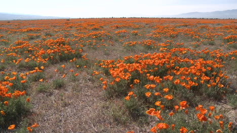 Wide-pan-of-california-poppies-in-bloom-blowing-in-the-wind-at-the-Antelope-Valley-Poppy-Preserve-California