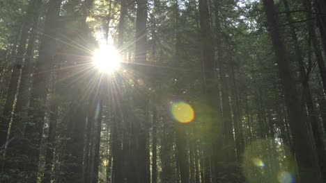 Time-lapse-of-sun-flares-setting-through-Coastal-Redwoods-in-Redwoods-State-Park-Humboldt-California