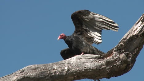 Turkey-Vulture-(Cathartes-aura)-sunning-themselves-on-the-Ojai-Meadow-Preserve-California