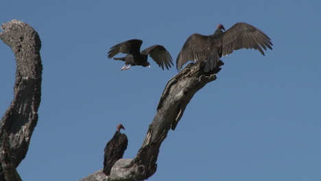 Turkey-Vulture-(Cathartes-aura)-sunning-themselves-on-the-Ojai-Meadow-Preserve-California-1