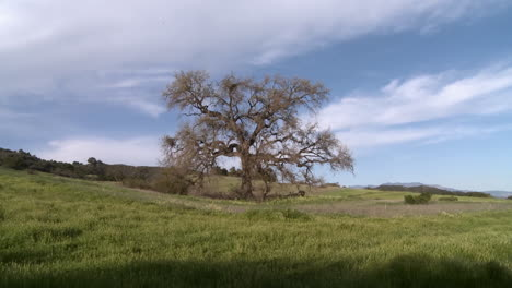 Zoom-out-on-large-Valley-Oak-during-the-spring-in-Ojai-California-1