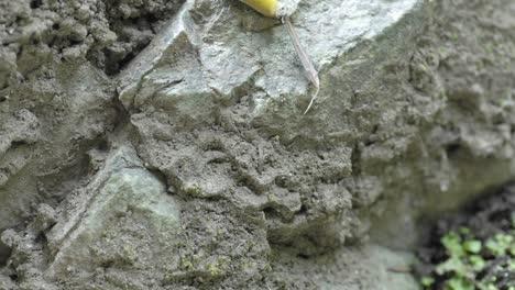 Time-lapse-of-a-Pacific-banana-slug-(Ariolimax-columbianus)-in-Big-Sur-California