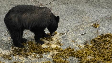Ein-Schwarzbär-Der-Sich-Von-Seepocken-In-Der-Inneren-Gezeitenzone-In-Tracy-Arm-Terror-Fords-Wildnis-Im-Südosten-Alaskas-Ernährt