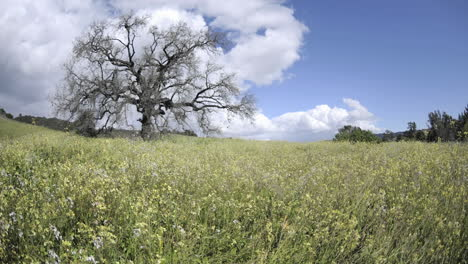 Rising-time-lapse-dolly-shot-of-a-storm-forming-over-a-valley-oak-tree-in-Ojai-California